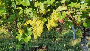 Weintrauben am Würzburger Stein