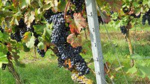 Blaue Weintrauben in einem Weinberg am Kapellenberg in Eibelstadt am Main