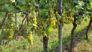 Reife Weintrauben in der Weinlage Rödelseer Küchenmeister