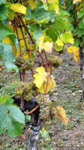 Reife Weintrauben in der Weinlage Würzburger Stein