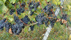 Blaue Trauben im Weinberg, direkt am terroir f Rimpar